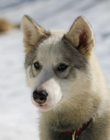Le Standard de la race Chien du Groenland sur Atara.com