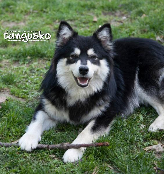 chien elevage du domaine de tangusko eleveur de chiens chien finnois de laponie. Black Bedroom Furniture Sets. Home Design Ideas