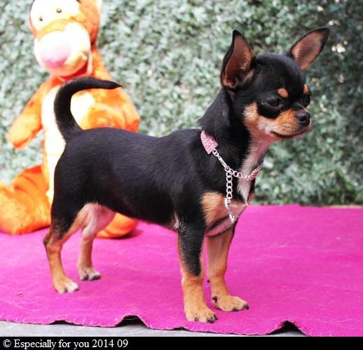 Les Chihuahua de l'affixe Especially For You