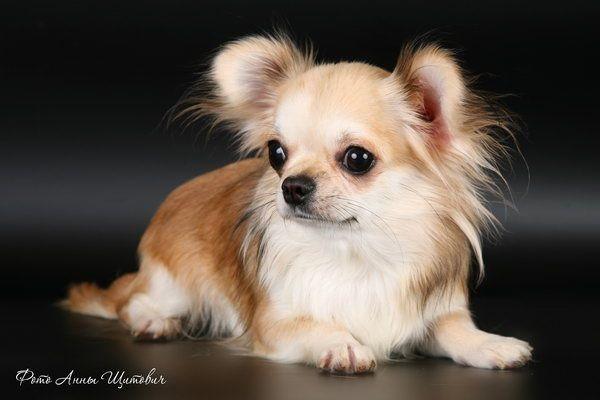 Chihuahua - Kuba iz korolevstva gnomow