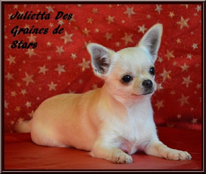 Chihuahua - Julietta Des graines de stars