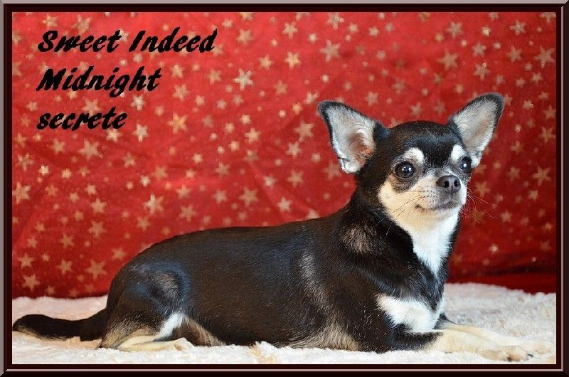 Chihuahua - sweed indeed Midnight secret