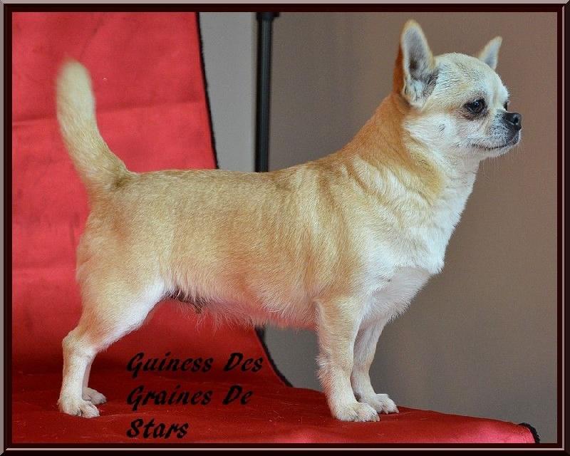 Les Chihuahua de l'affixe Des graines de stars