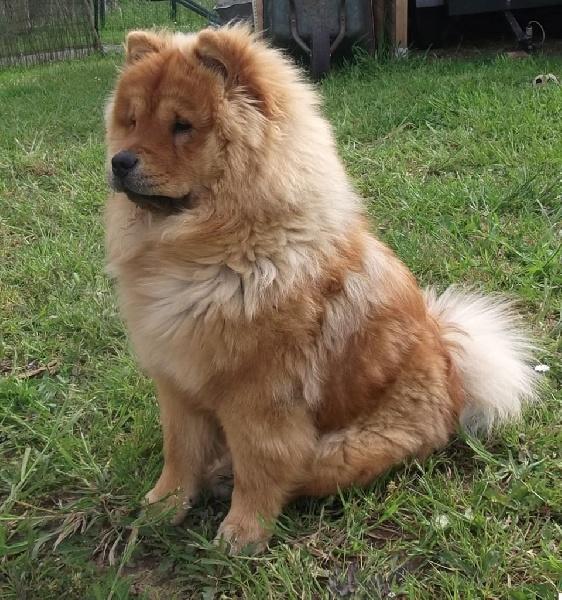 Accueil - Elevage Du Pakin Chow - eleveur de chiens Chow Chow