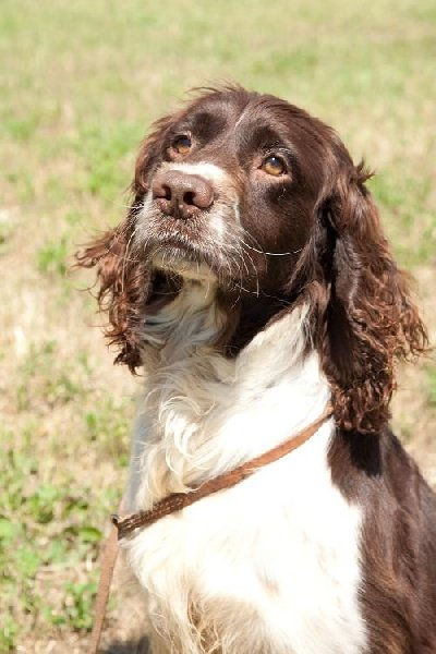 English Springer Spaniel - Haxel du bois de Mirapied