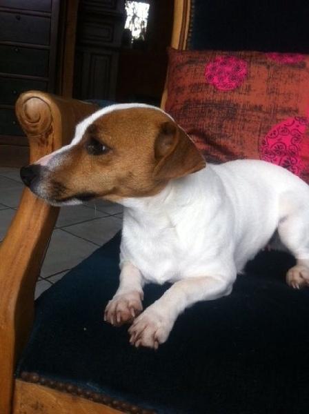 Les Jack Russell Terrier de l'affixe Du Domaine Brunemont