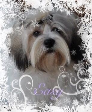 Les Lhassa Apso de l'affixe Angel Of The Sea
