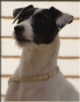 Parson Russell Terrier - CH. Hollywood star of jack and co.