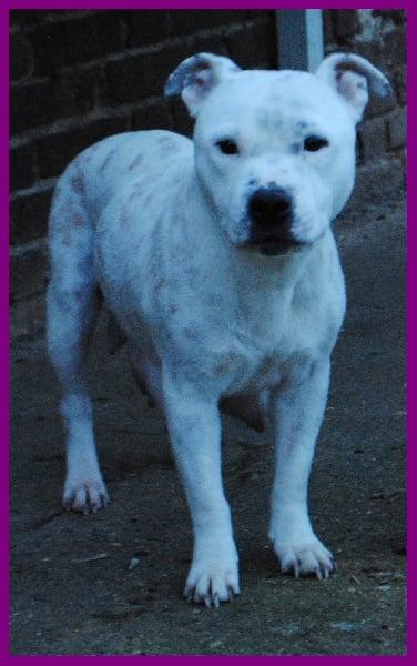 Les Staffordshire Bull Terrier de l'affixe Of Lady's Staff