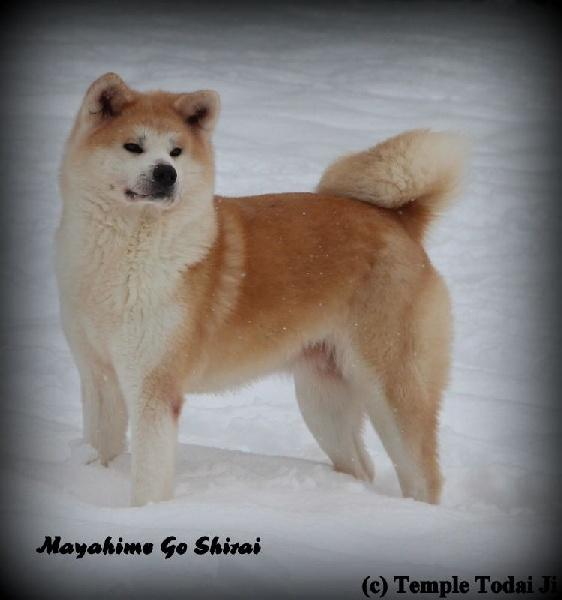 Mayahime go shirai