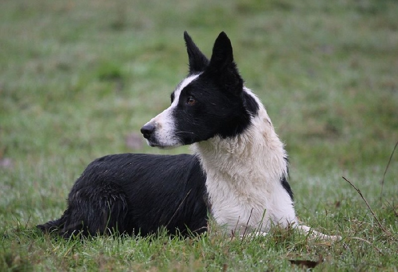 Les Border Collie de l'affixe Connivence