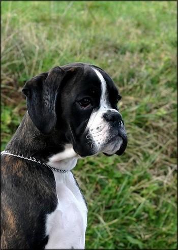 I 39 hop jardins de passiflore chien de race toutes races en for Boxer jardin de passiflore