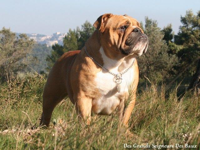 Les Bulldog Anglais de l'affixe Des Grands Seigneurs Des Baux