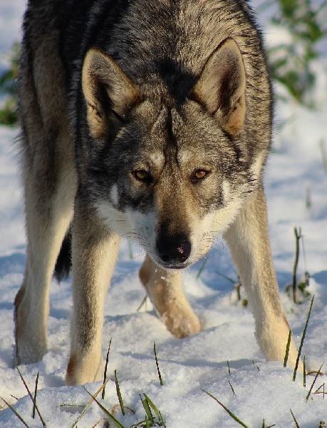 Le Standard de la race Chien-loup de Saarloos sur Atara.com