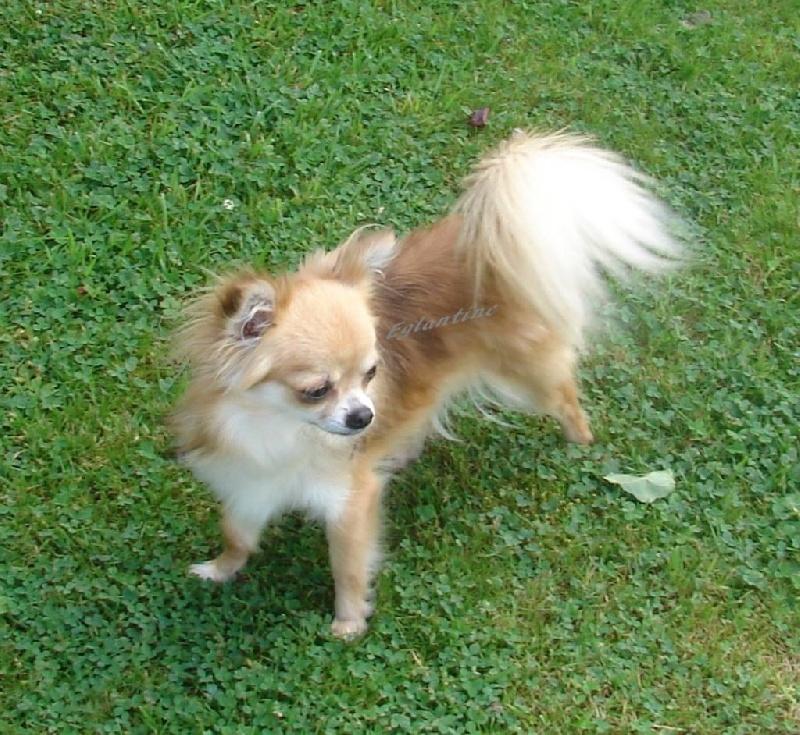 Les Chihuahua de l'affixe de La Licorne Des Anges