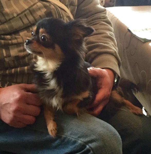 Les Chihuahua de l'affixe de la douce folie
