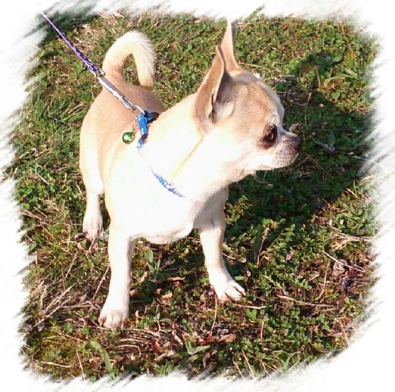 Les Chihuahua de l'affixe Nora Bouldieb