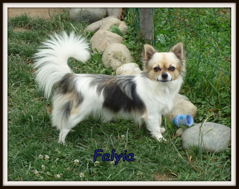 Chihuahua - Falyia Du Paradis Des Icones