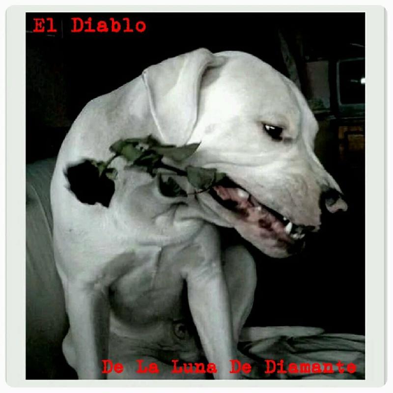 Les Dogo Argentino de l'affixe Des Pur-sang D'aphrodite