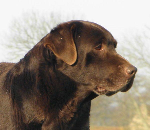 Labrador Retriever - Denver du Castel du Tremblay
