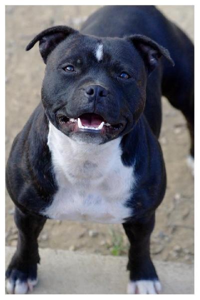 Irresistible black girl Du Domaine De Babylone chien de race toutes ...