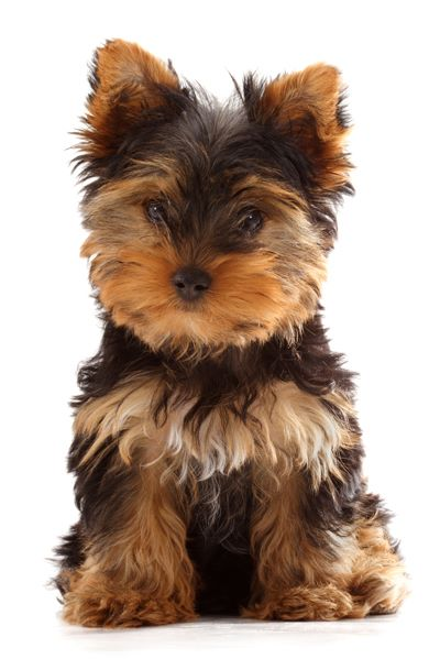 chien elevage kevin mazel eleveur de chiens yorkshire terrier. Black Bedroom Furniture Sets. Home Design Ideas