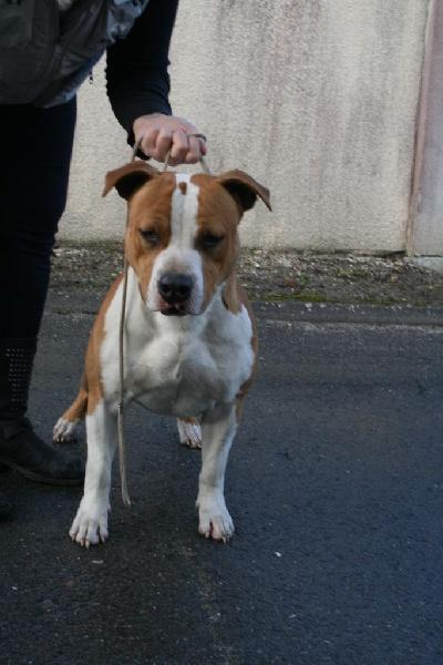 Le Standard de la race American Staffordshire Terrier sur Atara.com