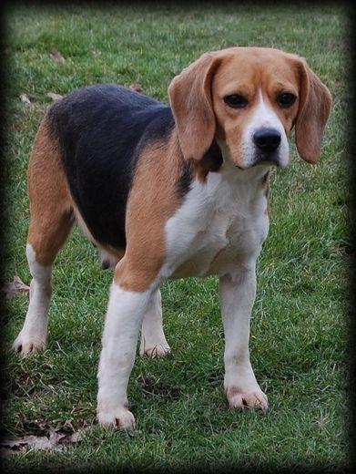 Les Beagle de l'affixe Didier Damas