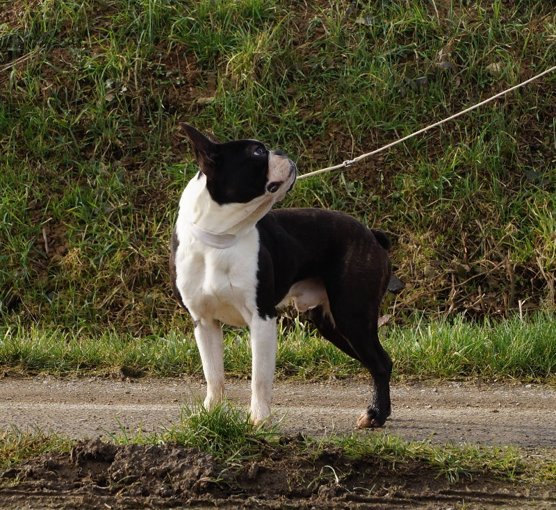 Boston Terrier - Jalisco Of darling dog
