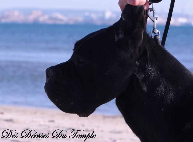 Cane Corso - Illicite dite nikita Des Deesses Du Temple