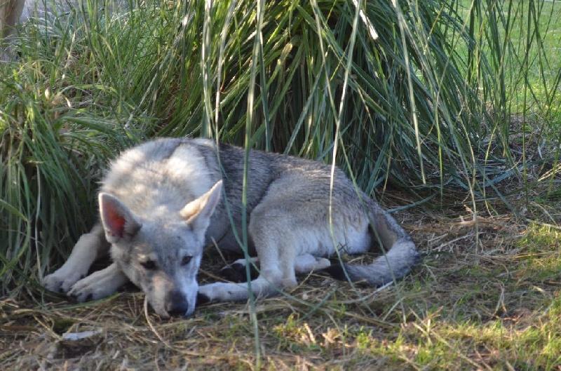 Les Chien-loup tchecoslovaque de l'affixe De L'Aube Des Loups