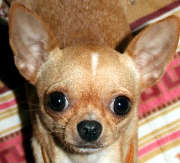 Les Chihuahua de l'affixe de la divine symphonie