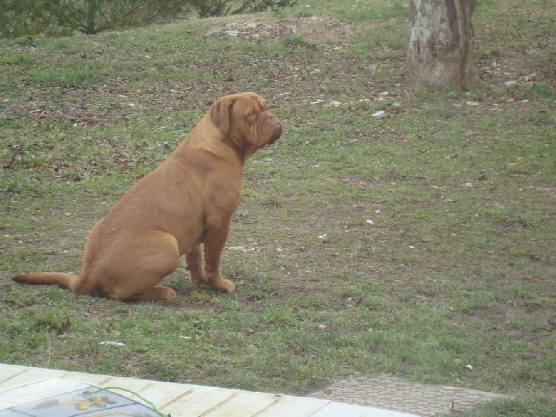 Dogue de Bordeaux - Just beautiful jaliska