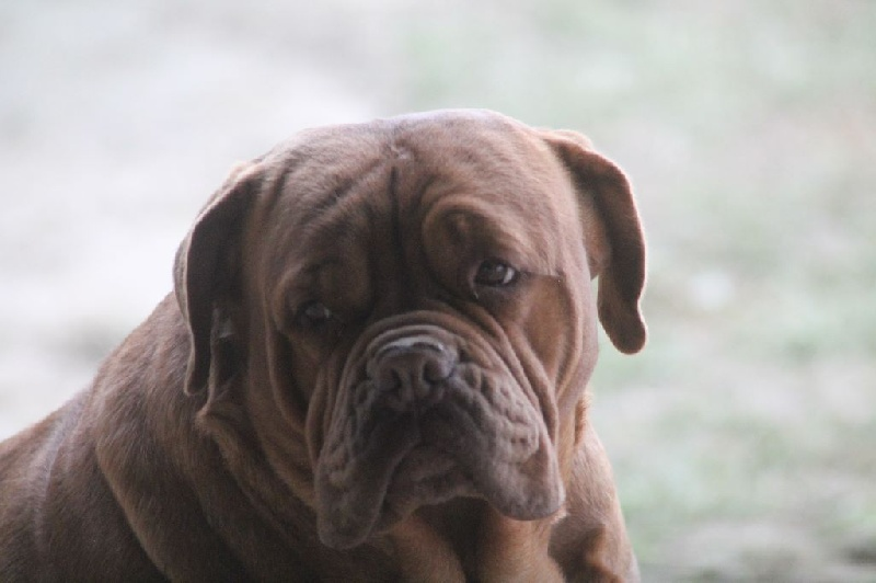 Les Dogue de Bordeaux de l'affixe De L'Elite Royal Dog