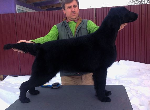 Les Flat Coated Retriever de l'affixe Butterfl 'highland