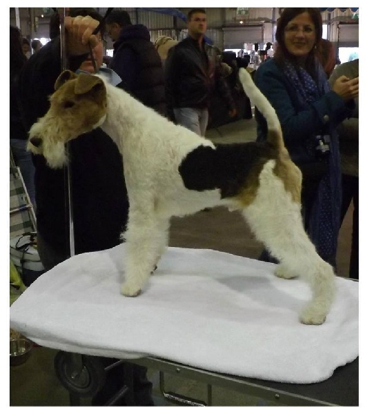 Fox Terrier Poil Dur - Igor des Astucieux de Kerlabour