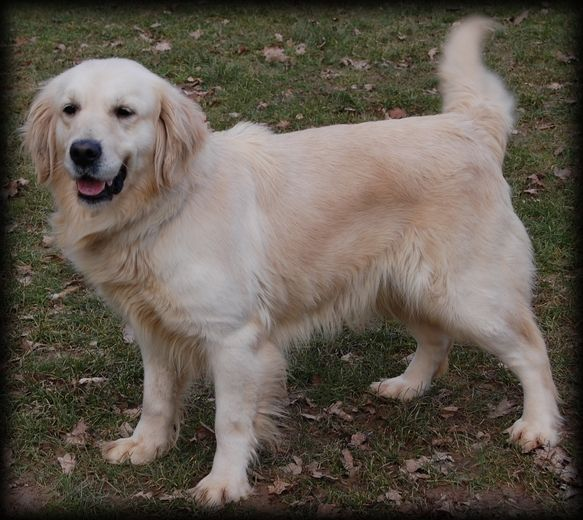 Les Golden Retriever de l'affixe Didier Damas