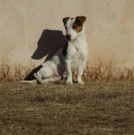 Les Jack Russell Terrier de l'affixe La Seigneurie Du Domaine D'Eole