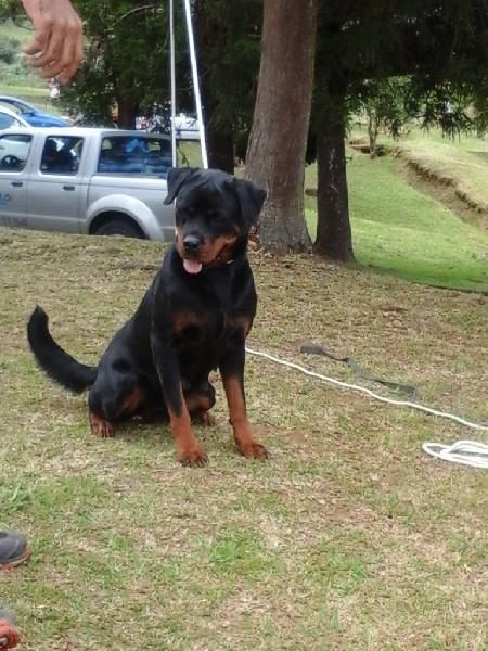Le Standard de la race Rottweiler sur Atara.com