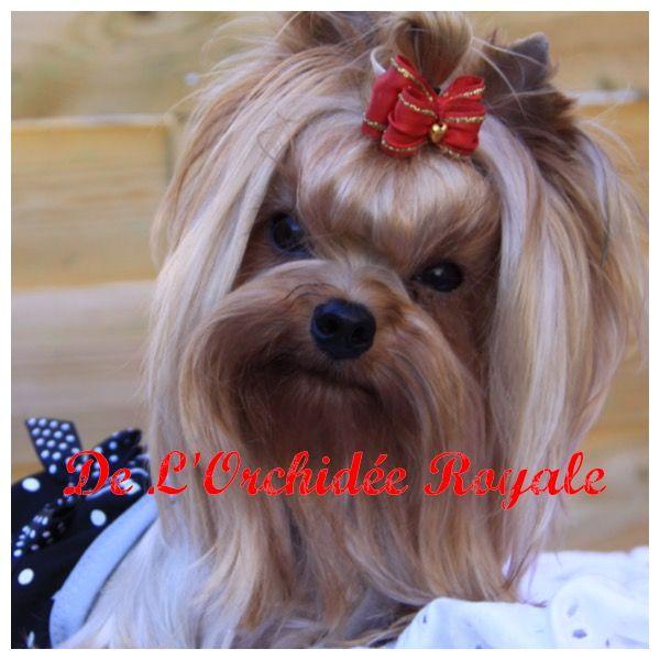 Yorkshire Terrier - Fiddzhahora de l'Orchidée royale