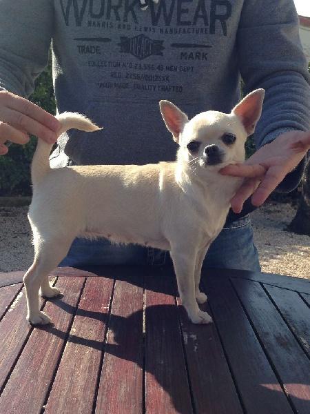 Les Chihuahua de l'affixe Du Clos De Diania Turba