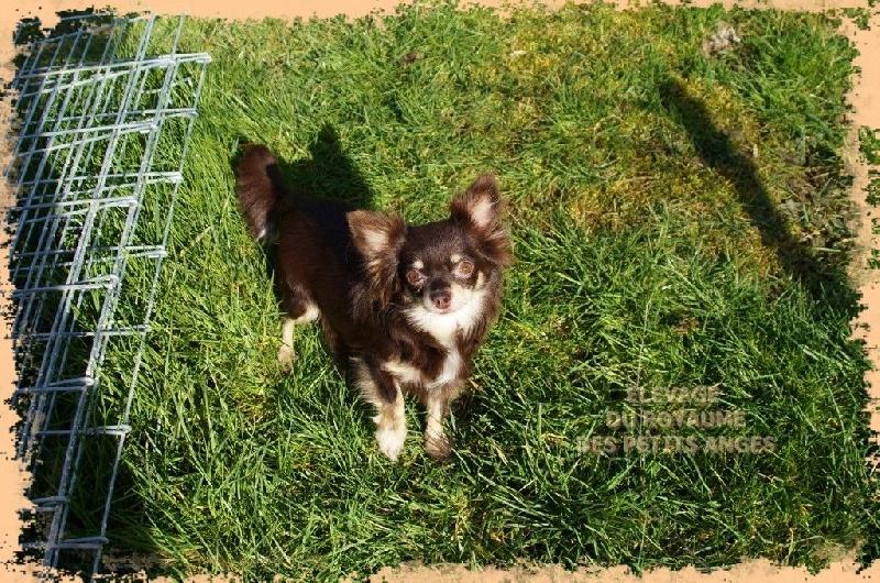 Les Chihuahua de l'affixe du royaume des petits Anges