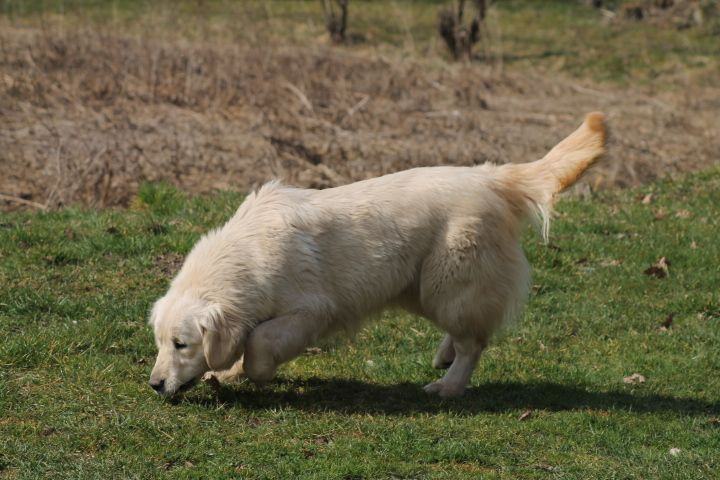 Les Golden Retriever de l'affixe Du rivage des mille etangs