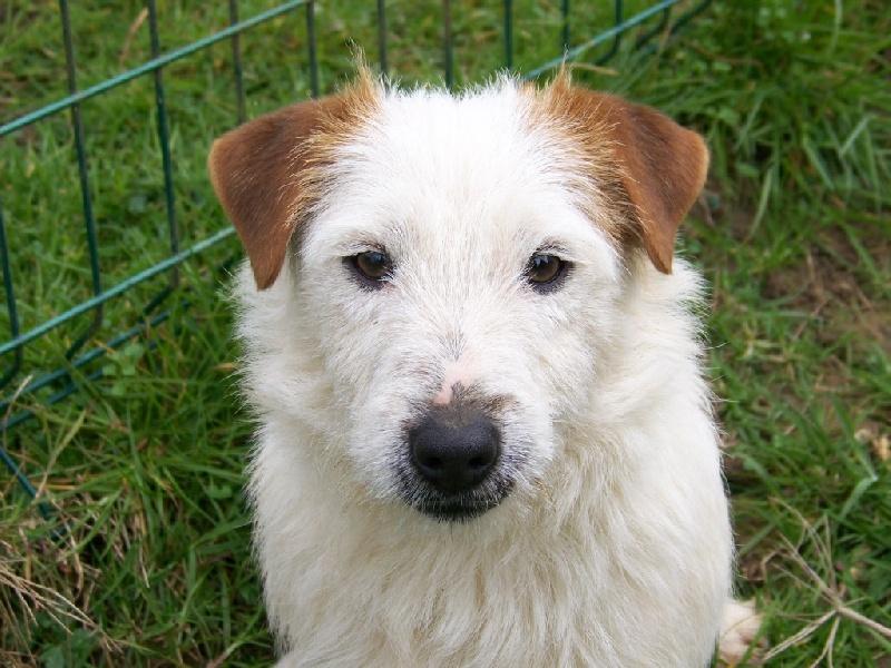 Jack Russell Terrier - Jago de la Haute Fougère