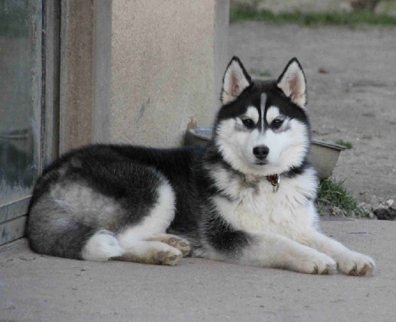 Siberian Husky - Just incredible black girl dite meika Naillik's