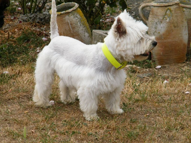 Le Standard de la race West Highland White Terrier sur Atara.com