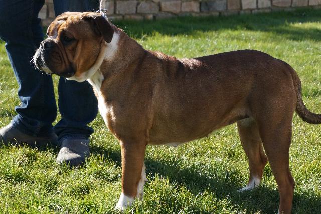 Les Bulldog continental de l'affixe des perles noires de Beaume