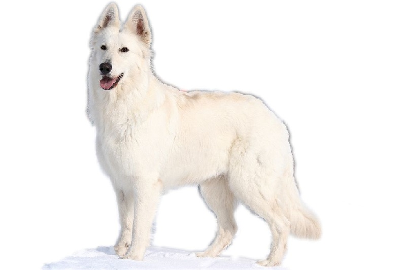Les Berger Blanc Suisse de l'affixe Of Idaho Legend