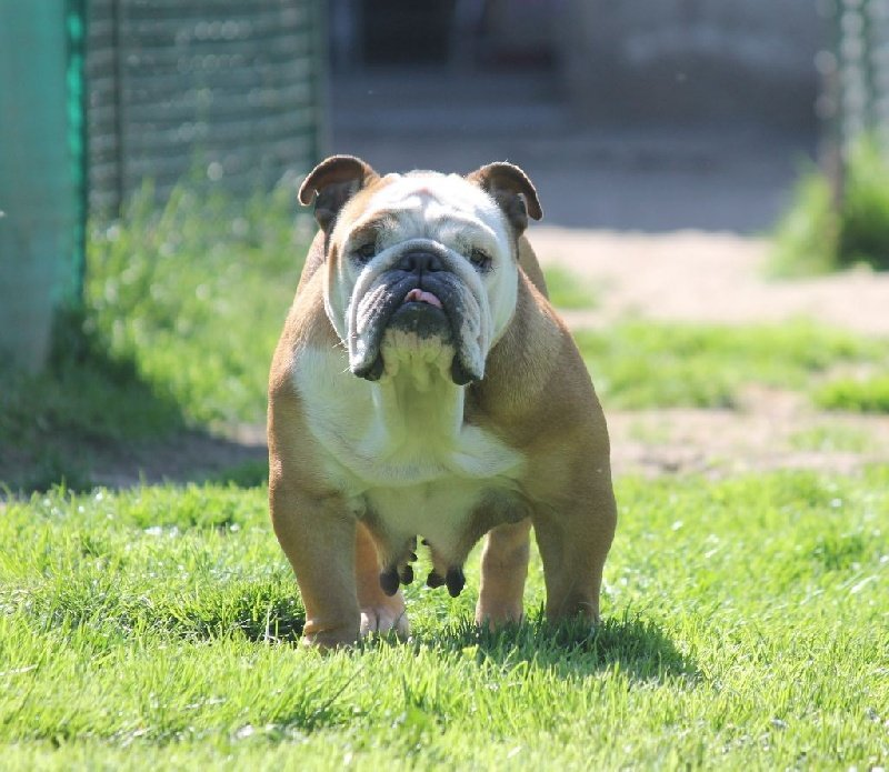 Les Bulldog Anglais de l'affixe de Chercica