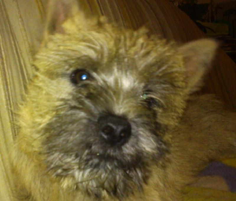 Les Cairn Terrier de l'affixe Du Domaine De Gigery